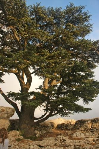 sun-bathed cedar